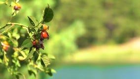 野玫瑰果反对湖的草本植物在森林里 影视素材