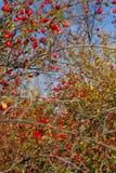 野玫瑰果和狂放的果子 免版税库存照片