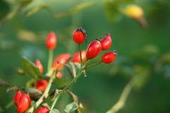 野玫瑰果在庭院里 免版税库存照片