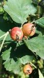 野玫瑰果在树增长 免版税库存图片