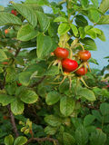野玫瑰果在森林里 图库摄影