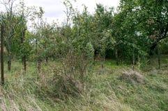 野玫瑰果树 库存照片