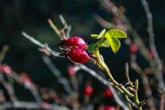 野玫瑰果植物特写镜头在新西兰 图库摄影