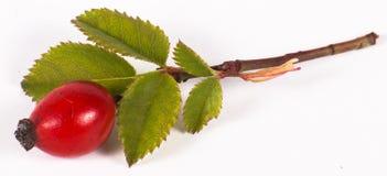 野玫瑰果浆果和叶子 免版税图库摄影