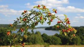 野玫瑰果灌木分支在湖岸好的风景 股票录像