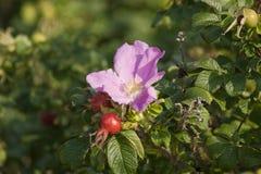 野玫瑰果灌木 库存照片