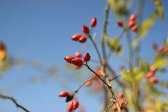 野玫瑰果灌木 免版税库存照片