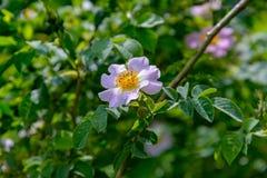 野玫瑰果花 库存图片