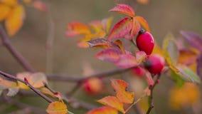 野玫瑰果莓果。秋天 股票录像