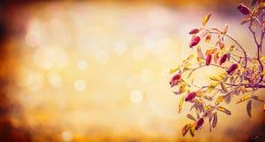 野玫瑰果莓果分支在秋天自然背景,横幅的 免版税库存照片