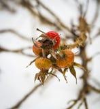 野玫瑰果莓果,冬天视图 图库摄影
