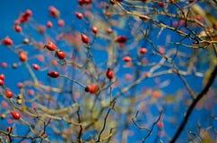 野玫瑰果蓝天 库存照片