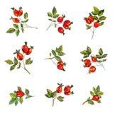 野玫瑰果集合用莓果和叶子 Handrawn概略设计,图表例证 皇族释放例证