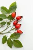 野玫瑰果 免版税图库摄影