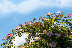 野玫瑰果brnach和蜂 库存图片