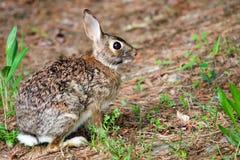 野生东部棉尾巴兔子,北美洲兔类floridanus,在森林里 免版税库存图片