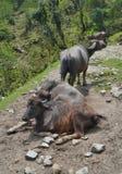 野生亚洲母牛,安纳布尔纳峰国家公园 免版税库存照片