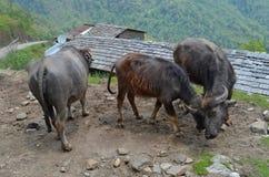 野生亚洲母牛,安纳布尔纳峰国家公园 图库摄影