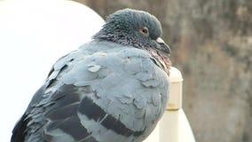 野生从后面看法的岩石灰色鸠鸽子休息的和观看的录影 股票视频