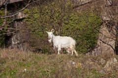 野生克什米尔山羊 库存照片