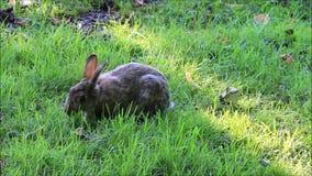 野生兔子在公园 股票录像