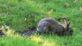 野生兔子在公园 影视素材