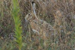 野生兔子在森林里 库存照片