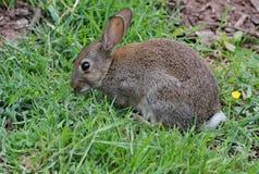 野生兔子在砂岩足迹内的一个Beeston草甸,在彻斯特 免版税库存照片