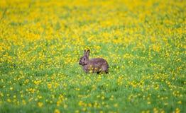 野生兔子在荷兰 免版税库存照片