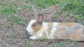 野生兔子是休息在国立公园 股票录像