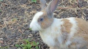 野生兔子是休息在国立公园 股票视频
