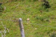 野生兔子,新西兰乡下 免版税库存照片