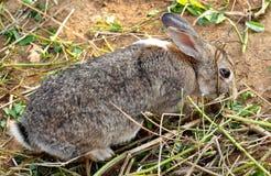 野生兔子, Yomitan村庄,冲绳岛日本 免版税库存照片