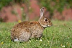 野生兔子(穴兔串孔) 库存照片