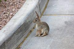 野生兔子 免版税图库摄影