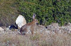 野生兔子 图库摄影