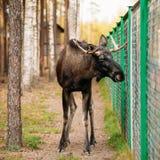 野生公麋,在笼子森林储备的麋 免版税库存图片