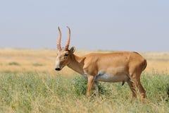 野生公Saiga羚羊在卡尔梅克共和国干草原 库存照片