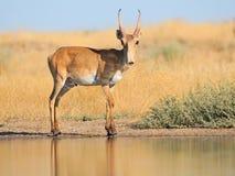 野生公Saiga羚羊近浇灌在干草原 库存图片