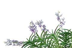 野生兰花在热带雨林iso中开花与绿色叶子 库存图片