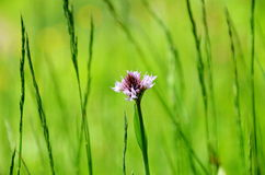 野生兰花在草甸 免版税图库摄影