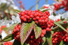 野生冬天忍冬属植物莓果 库存照片