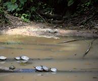 野生凯门鳄和乌龟,厄瓜多尔 免版税图库摄影