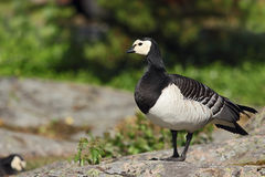野生加拿大鹅 免版税库存照片