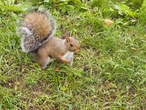 野生动物。灰鼠。 免版税库存图片
