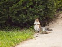 野生动物。灰鼠。 库存照片