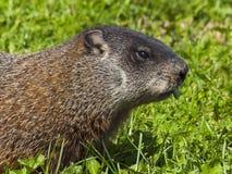 野生动物。 土拨鼠。 免版税图库摄影