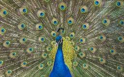 野生动物世界 与开放五颜六色的尾巴的孔雀 库存图片