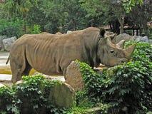 野生动物园犀牛白色 库存图片