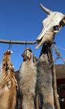 野生动物在解决晒黑了毛皮和一块头骨 图库摄影